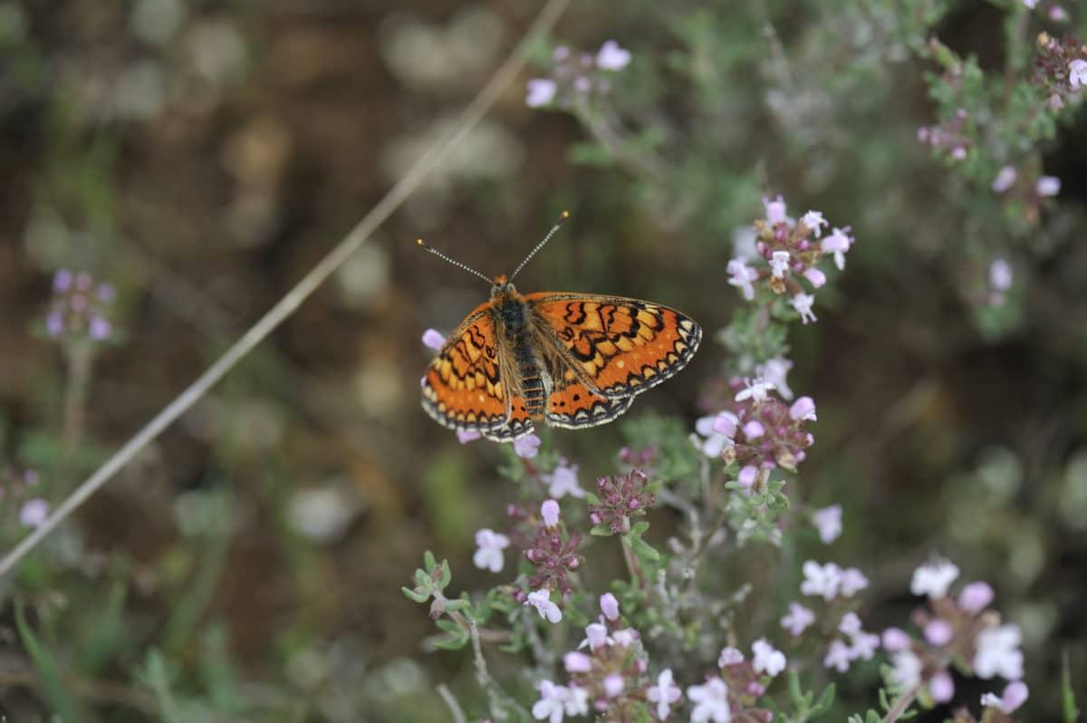 Mariposas europeas en declive.