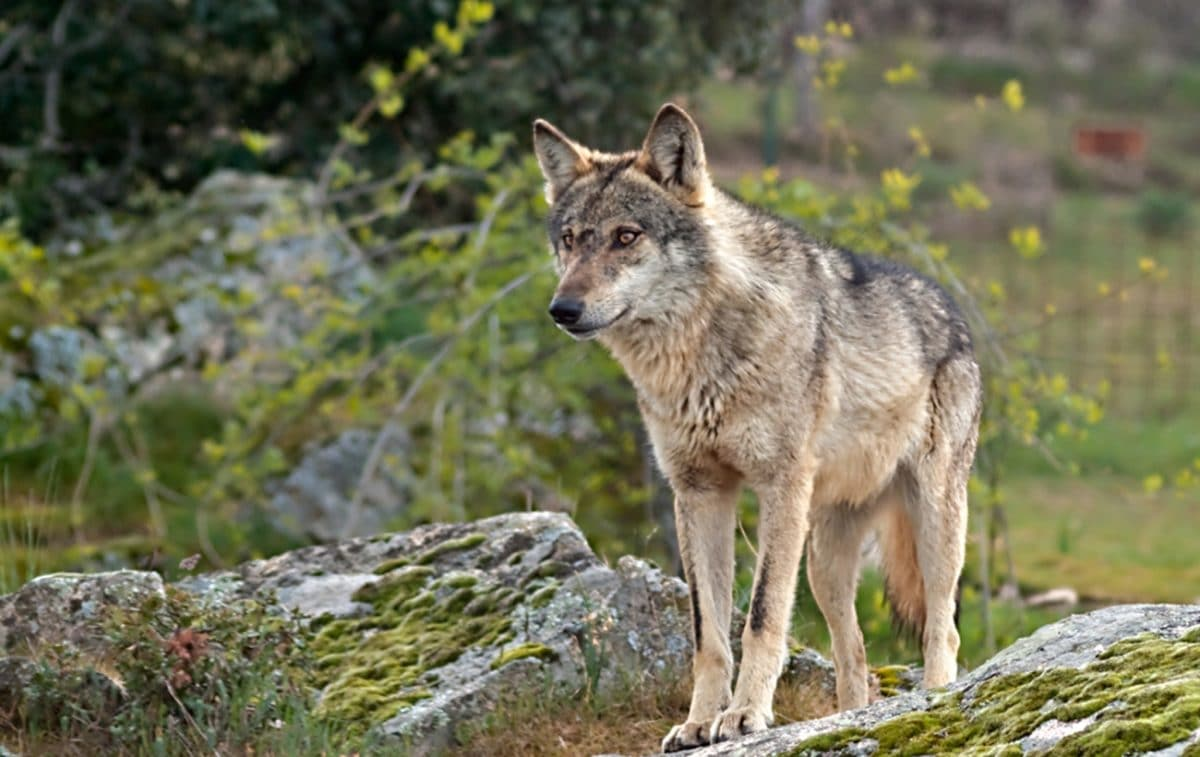 Lobo ibérico en su hábitat