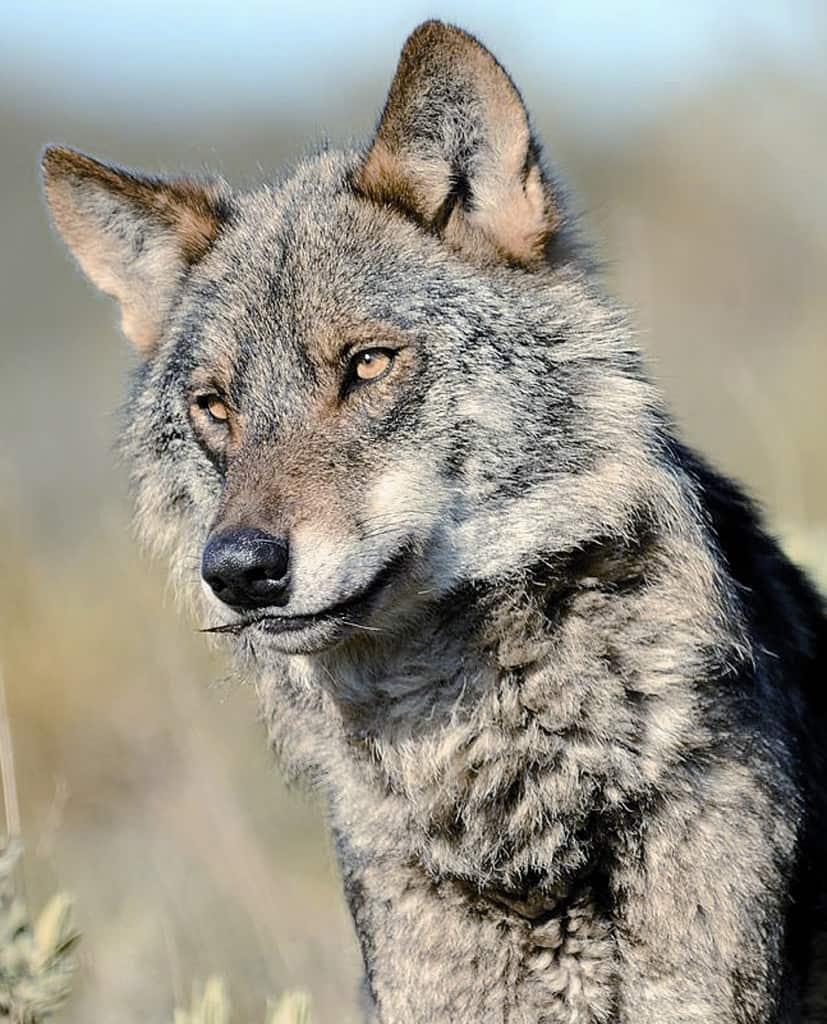 El Lobo ibérico necesita ser preservado