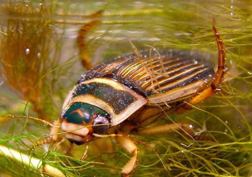 Coleóptero acuático. Fuente: Atlas de los coleópteros acuáticos de España peninsular