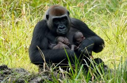 gorilas protegidos