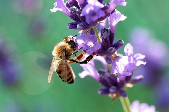 Las abejas son imprescindibles para los ecosistemas.