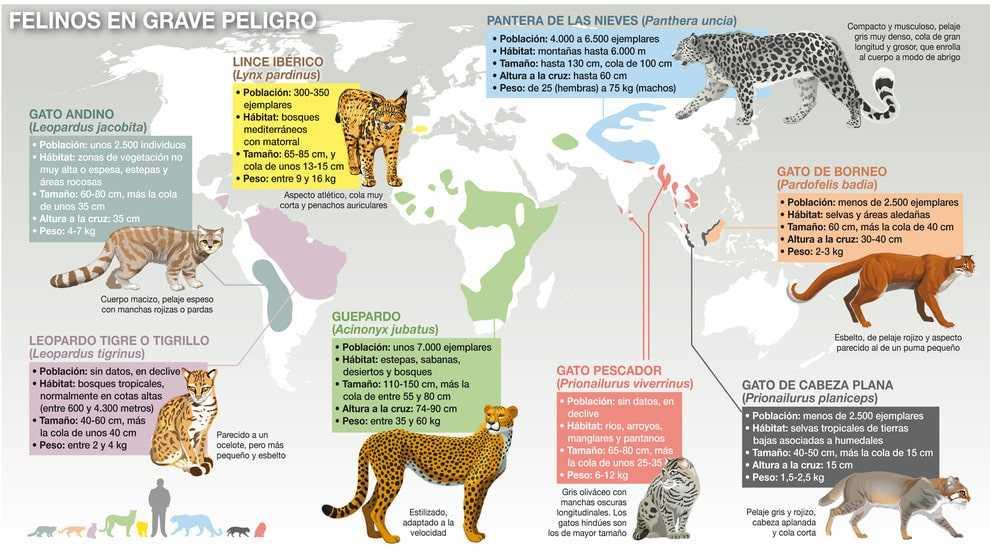 La-perdida-de-habitat-amenaza-a-los-felinos-del-mundo_image990_