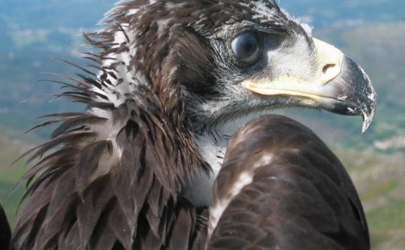águila-real-1