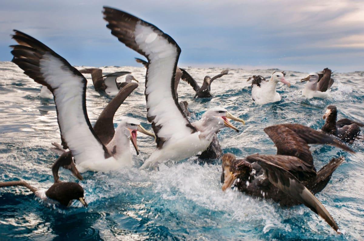 grupo de Albatros de Salvin en el agua