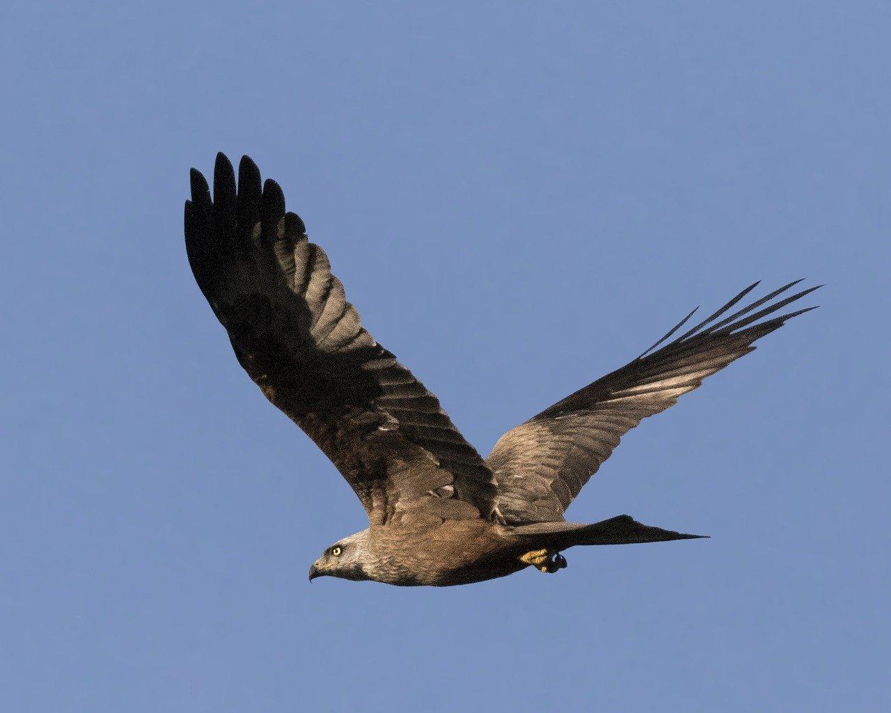 Aguila real, una de las aves que se pueden encontrar en España