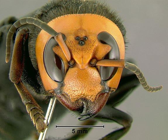El avispón asiático gigante es una de las principales preocupaciones en relación con especies exóticas