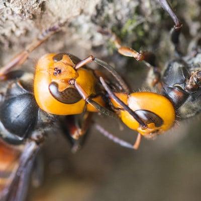 La invasión de las avispas asiáticas está favorecida por el comercio y el cambio climático