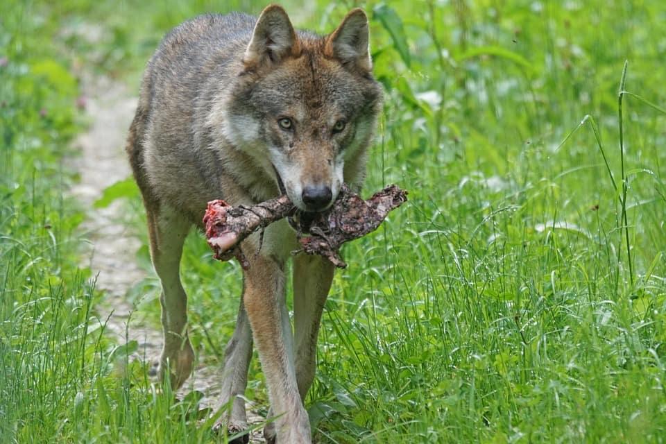 Denuncias de ganaderos por supuestos ataques de lobo al ganado