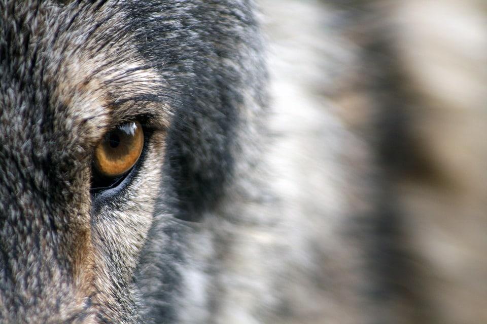 Falsas denuncias por ataque de lobo fueron investigadas por la Guardia Civil