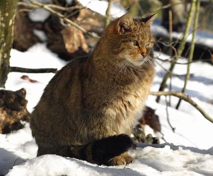 Gato montés europeo: ejemplo de vertebrados en peligro.