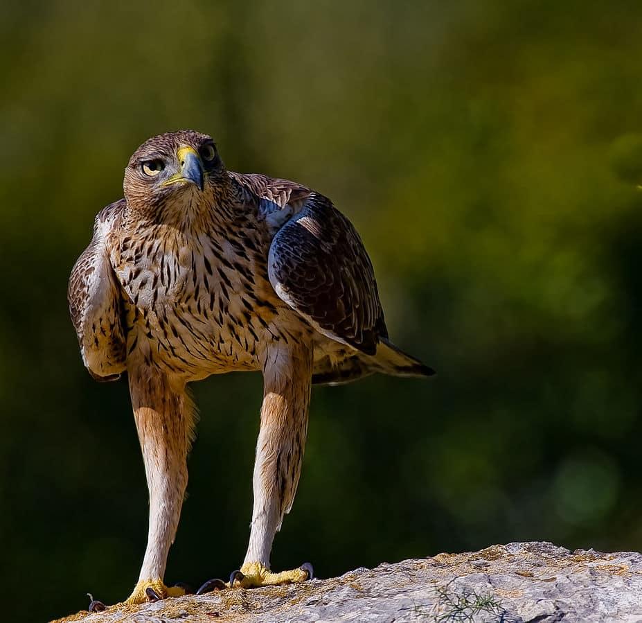 La electrocución de aves afecta a especies amenazadas como el águila perdicera