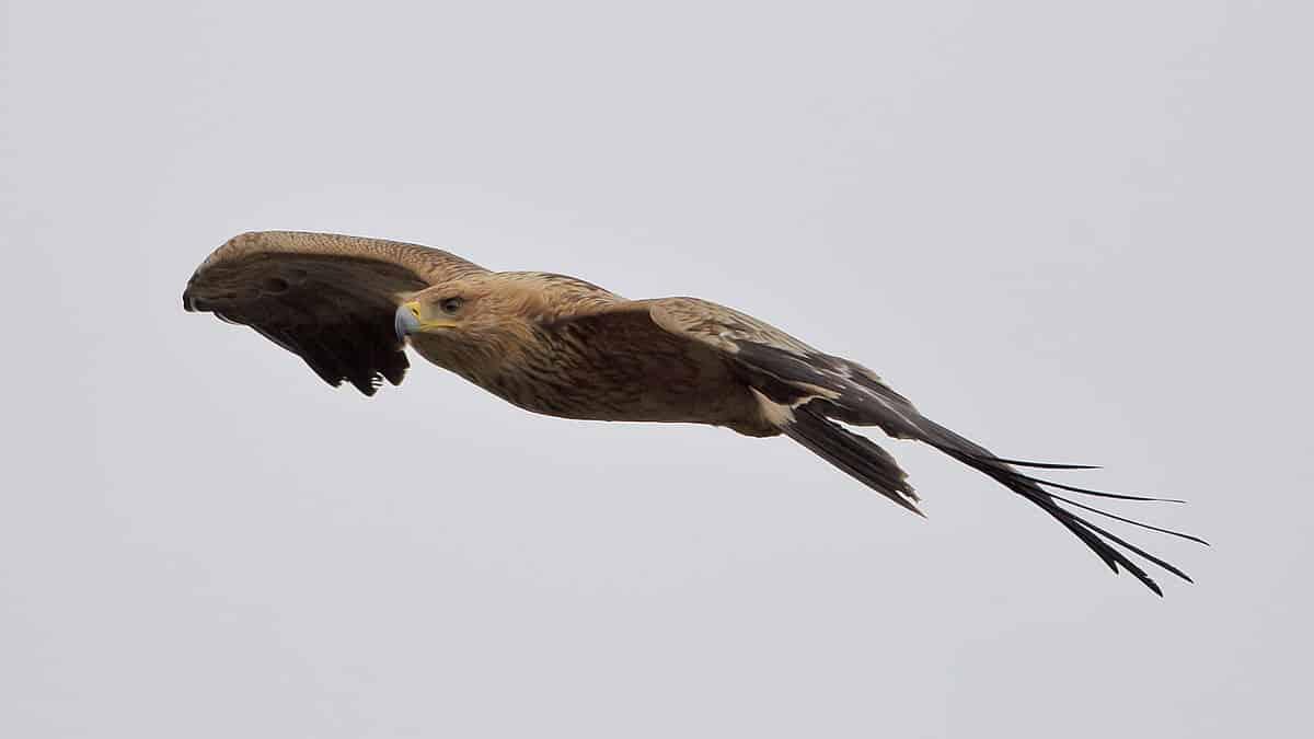 El águila imperial ibérica es de las espcies amenazadas más afectadas por la electrocución de aves