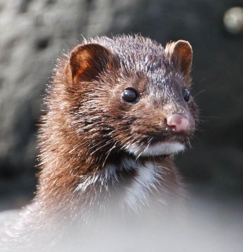 El visón americano es una de las especies invasoras dañinas para el ecosistema español