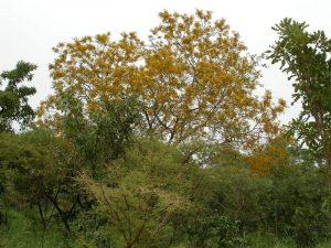 árbol de kosso
