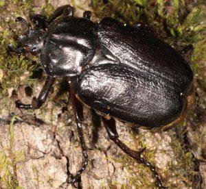 Coleópteros utilizados como especie indicadora