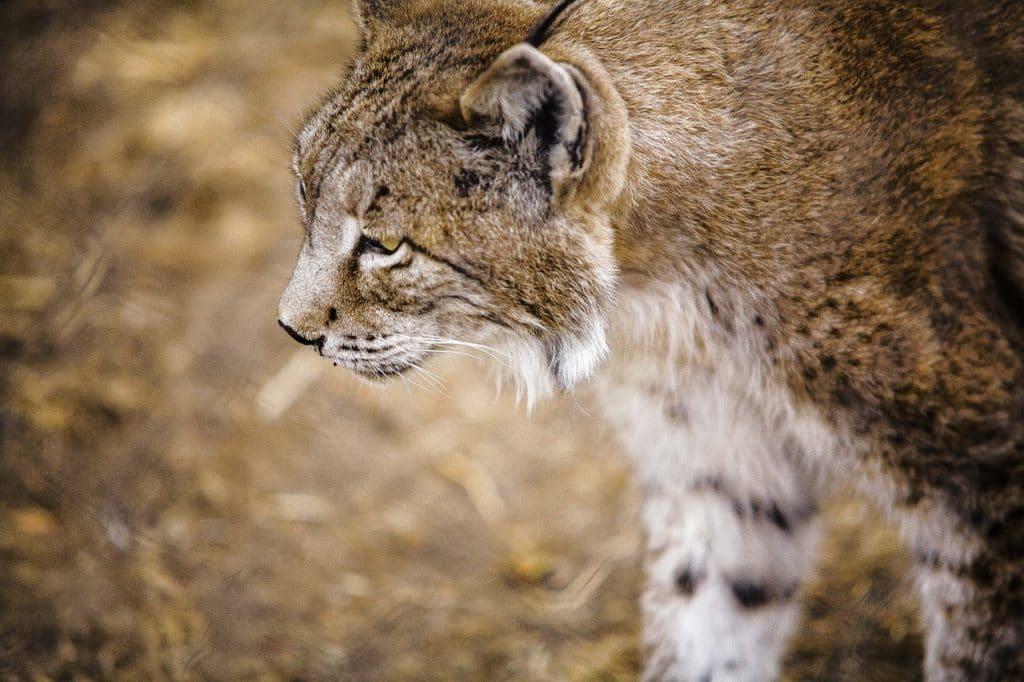 Ǵestión de especies amenazadas: el lince ibérico es uno de los que tienen plan de gestión