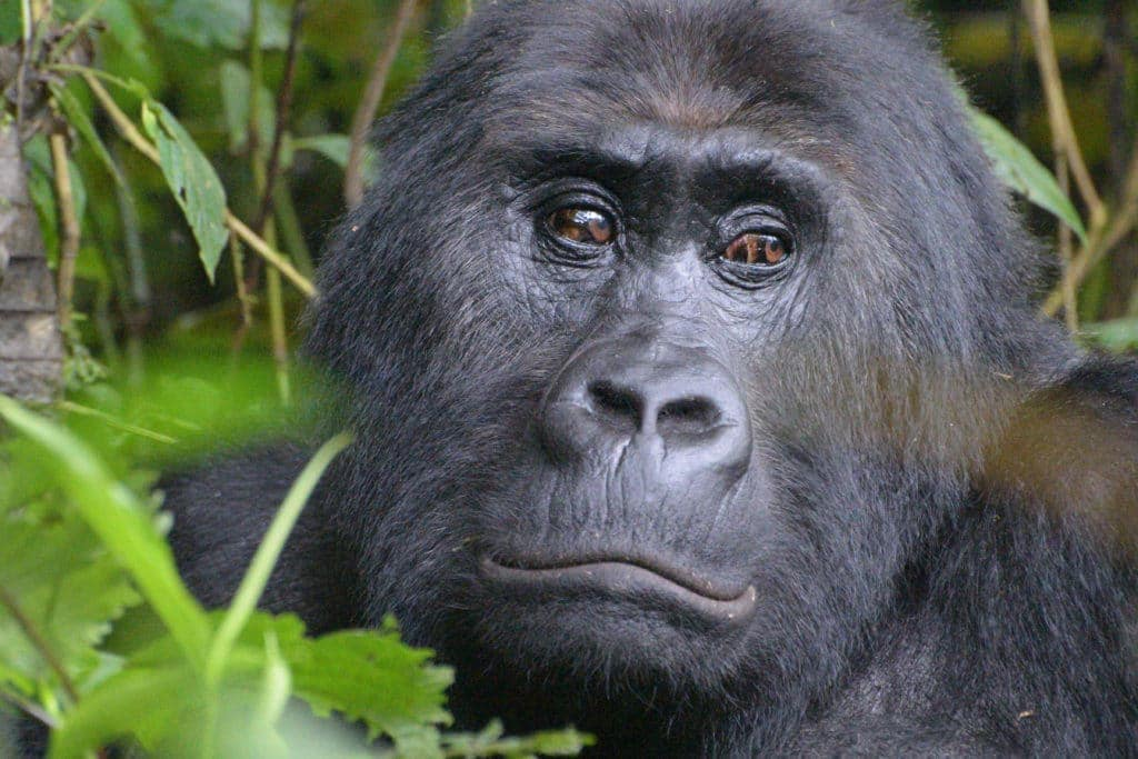 El gorila más grande del mundo, amenazado de extinción