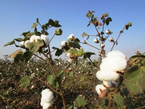 El algodón es la fibra más utilizada en el sector textil