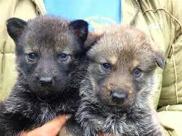 Lobo Ibérico: cachorros.