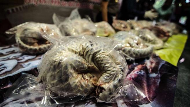Pangolines congelados y listos para exportar ilegalmente