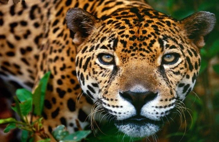 Jaguar. Fuente: bcampdera.wordpress.com