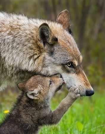 lobo ibérico con cachorro