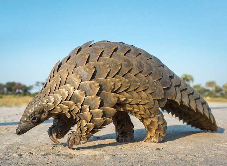 Pangolín: mamífero con mayor riesgo de extinción