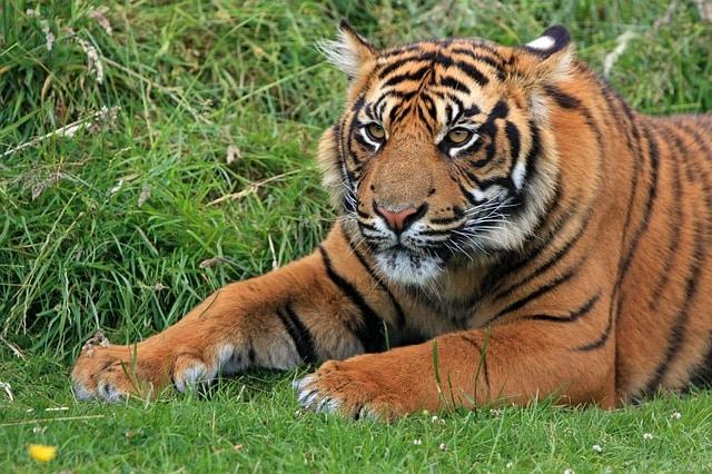 A pesar de las campañas, los tigres y sus partes siguen siendo uno de los protagonistas en el tráfico de animales