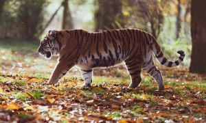 Informe sobre el papel de la UE y Reino Unido en el tráfico de tigres