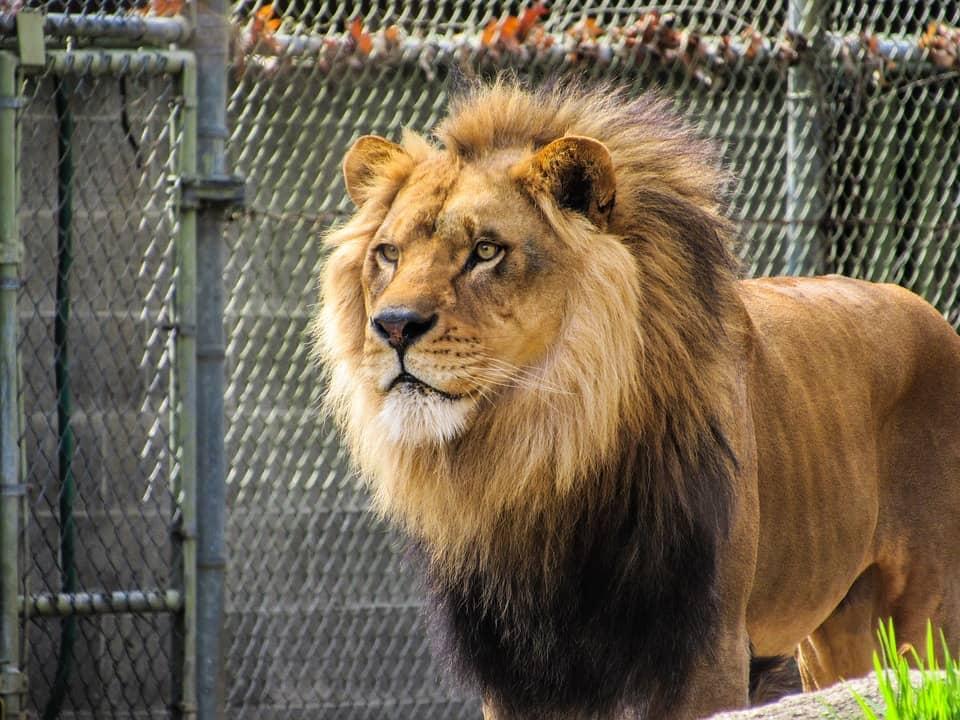 Los leones son típicos animales que pueden verse en zoológicos