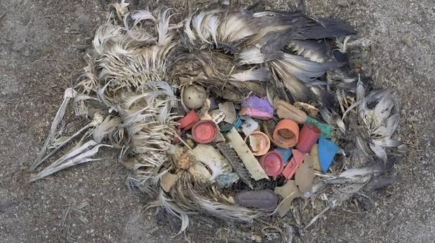 Ingestión Plásticos aves