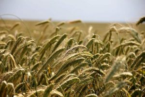 Aprovechar los cultivos para incrementar captación de carbono, una de las opciones propuestas en el estudio