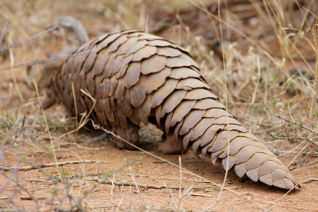 El pangolín es una de las especies en peligro por el alto tráfico
